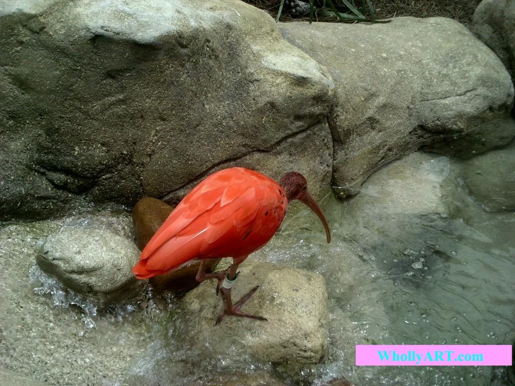 Drinking Scarlet Ibis